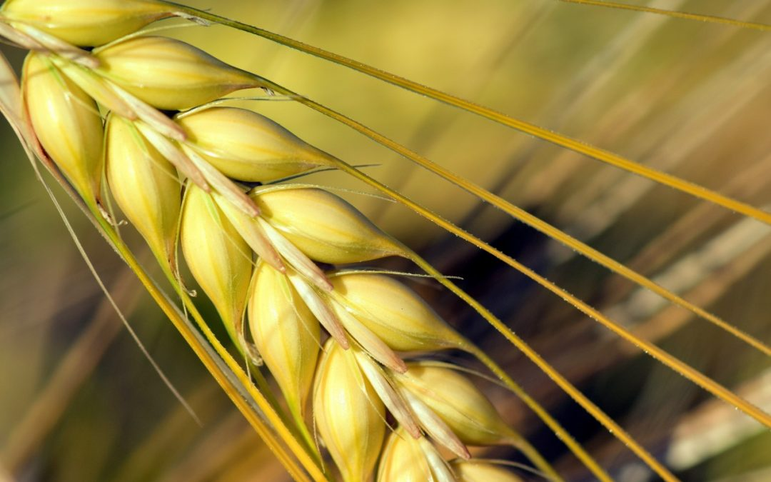 Se recomienda la vigilancia de sus cereales de invierno