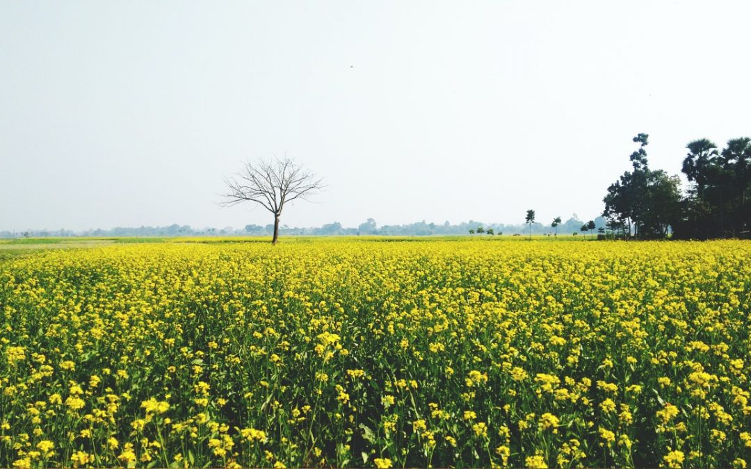 Se recomienda vigilar sus cultivos de colza en cuanto a la incidencia del gorgojo del tallo